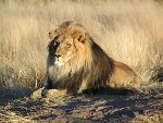 250px-lion-waiting-in-namibia-thumbnail