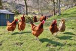 chickens-thumbnail