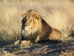 250px-lion-waiting-in-namibia